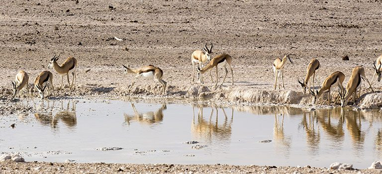 Antelopes at a Watering Hole in the desert drinking