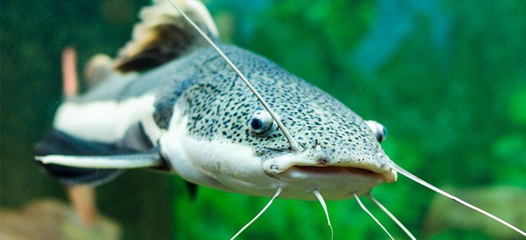 Catfishing, catfish